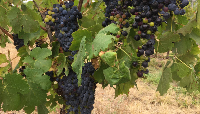 Discover Aglianico: an ancient grape thriving in the Barossa