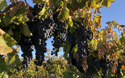 2021 vintage report Purple Hands Wines from the Barossa